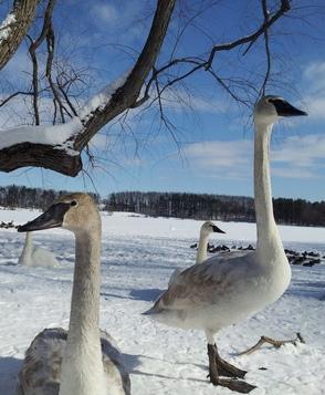 Winter Trumpeter Swans