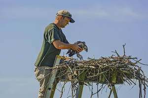 DNR Wildlife Biologist Ken Kesson places a banded osprey chick back into its nest