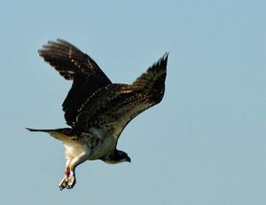 Young osprey in flight